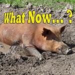 BPGI fat-pig-what-now